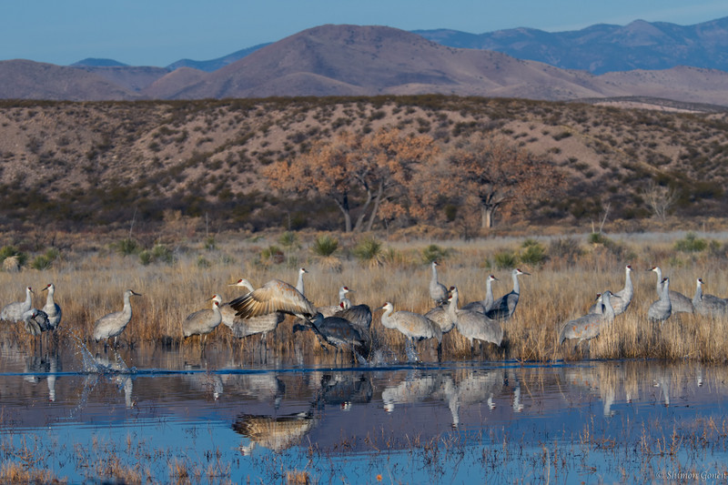 Sandhill Crane taking off - Bosque Del Apache, New Mexico