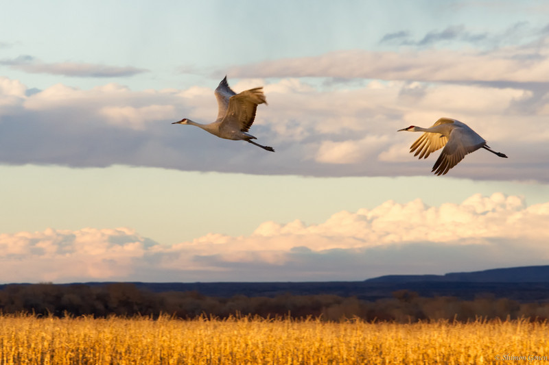 Sandhill couple - Bosque Del Apache, New Mexico