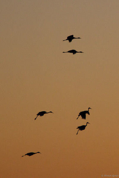 Sandill Cranes landing approach - Bosque Del Apache, New Mexico
