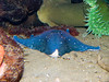 Blue starfish.  It was at the back of the tank though so I couldn't get a good shot.