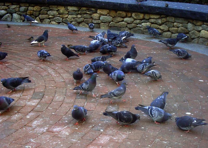Pigeons whom I fed at the Irish Famine Memorial
