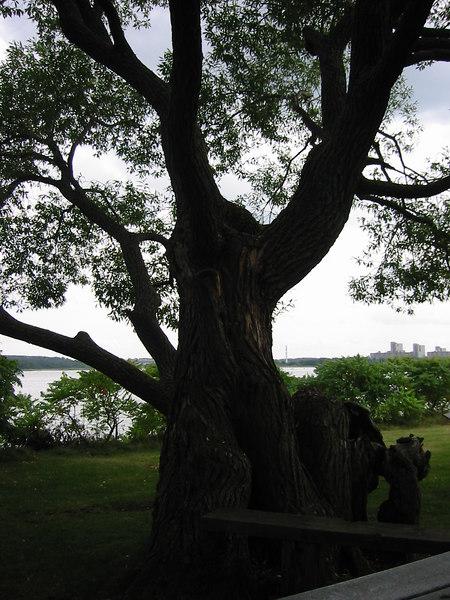 Gnarled tree on Grape Island