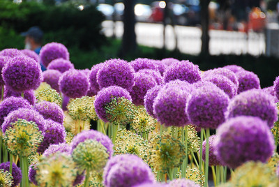 Big purple... poofs, in the Public Garden, Boston