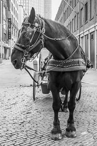 Boston Carriage Horse