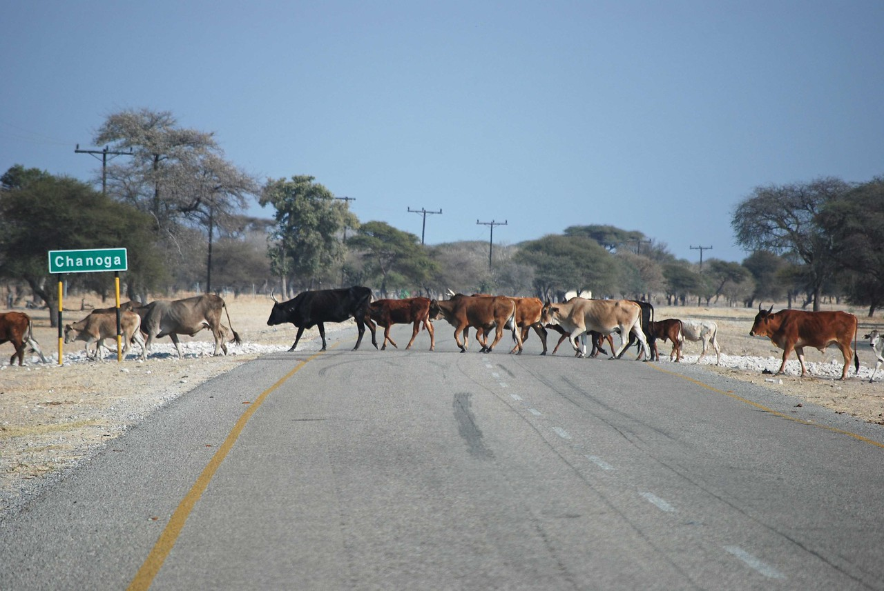 Cows crossing the Trans-Kalahari Highway<br /> <br /> The area adjacent to the highway was heavily grazed and barren. Needless to say, we drove slowly and with great caution. We stopped at the first picnic site for lunch but rejected it when we found the site covered in huge quantities of poop. Several kilometres later, we rejected the second site for the same reason. Obviously, the horses, donkeys, goats and cows agreed that these picturesque sites were a good place to stop and eat. At the third picnic site, by now rather hungry, we ate amongst the poop.
