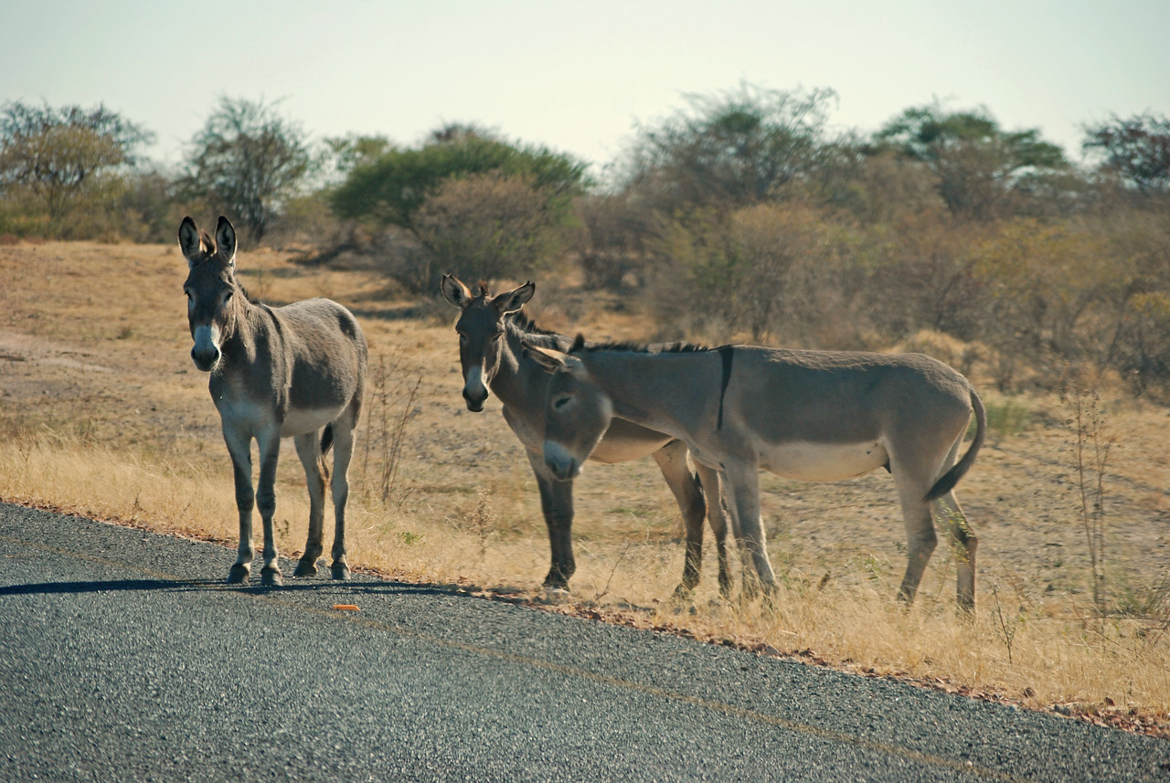 Donkeys along the highway east of the border<br /> <br /> In Botswana, we continued east along the Trans-Kalahari Highway, although it was now known as the A2 rather than the B6. There was a petrol station at each border post and we debated having lunch in the Engen Station's picnic site on the Botswana side, but decided instead to carry on. One important difference in the highway on either side of the border was immediately apparent. While again the road was narrow, two-lane, with no lines or shoulders, there was a total absence of fences on the Botswana side. Horses, goats, chickens, sheep, cattle, donkeys and ostriches wandered freely across the highway.