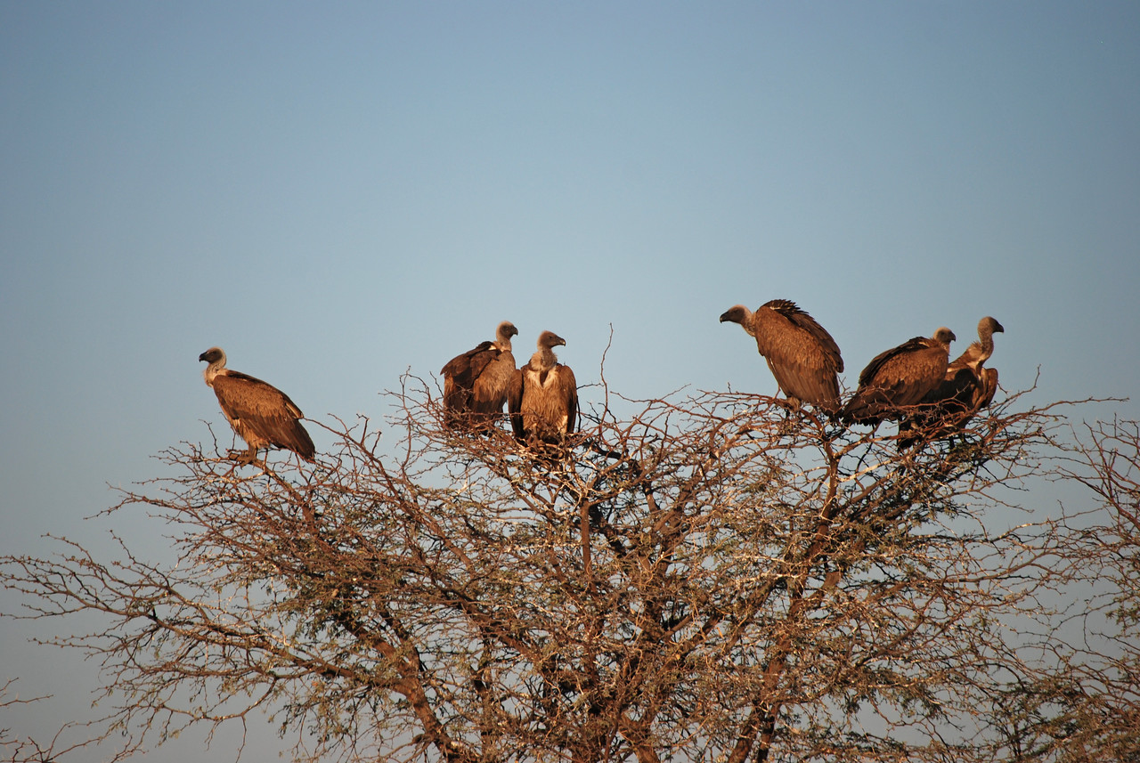 Vultures along the Tautona road at dawn<br /> <br /> After a quick breakfast of scrambled eggs and toast, we headed back down the lodge's rough road. We were dismayed to see several cheetahs and a pack of wild dogs caged in enclosures beside the road, which we had somehow missed on our drive in. The animals had obviously just been fed, as there were more than two dozen African/ white-backed vultures sitting on the fence and nearby trees. While we did appreciate the opportunity to have a good look at these elusive creatures and acquire some great photos of the vultures, it was sad to see the animals living under those circumstances.