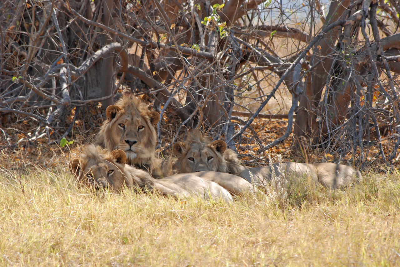 More highlights<br /> <br /> ← Three male lions in the Moremi Game Reserve<br /> <br /> Cruising the Chobe River on the houseboat Ichobezi Mukwae - paradise after five weeks of traveling through South Africa, Namibia, Moremi and Chobe on rough, dusty roads.<br /> Sixteen lions.<br /> The little bee-eaters.