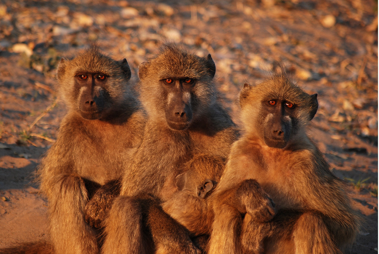Lowlights - not many!<br /> <br /> ← Baboons at dawn in Chobe NP – wretched creatures!<br /> <br /> The unfriendly guides from the private safari companies in Moremi and Chobe.<br /> Those wretched baboons at Ihaha Campsite!<br /> Seven safari vehicles at the lion sighting east of North Gate campsite.