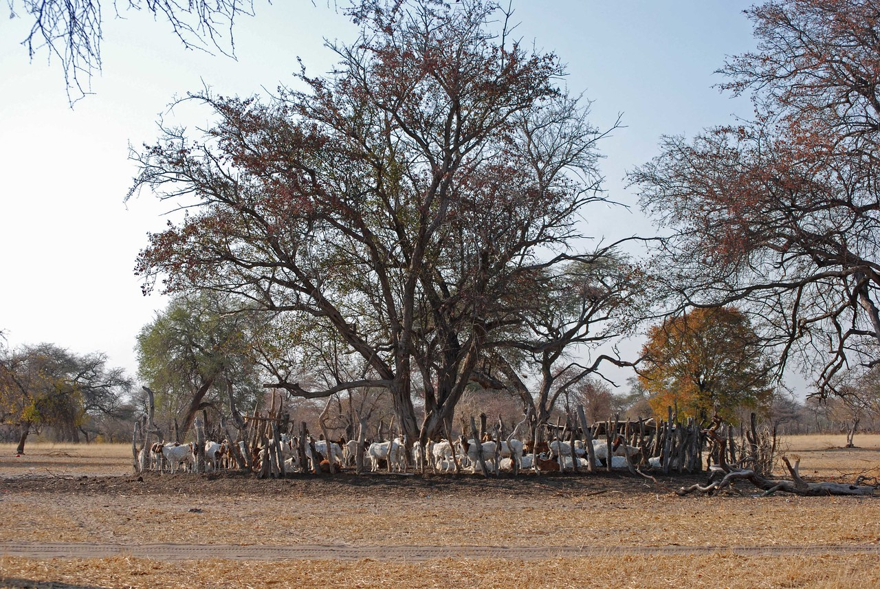 Kraal with goats<br /> <br /> There was usually a large kraal nearby. These pens for the cattle or goats were roughly circular and constructed of upright sticks that were bound together with wire.