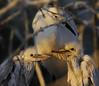 Egret chicks & mother