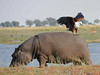 Fish eagle on hippo