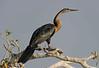 African darter (Snakebird)
