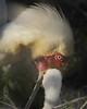Spoonbill feeding chick