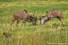Male Greater Kudu Fighting and Chacma Baboon aka Cape Baboon