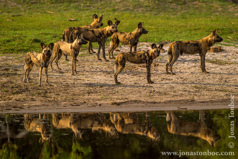 African Wild Dog aka African Painted Dog at Savute Channel