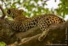 Female African Leopard Yawning