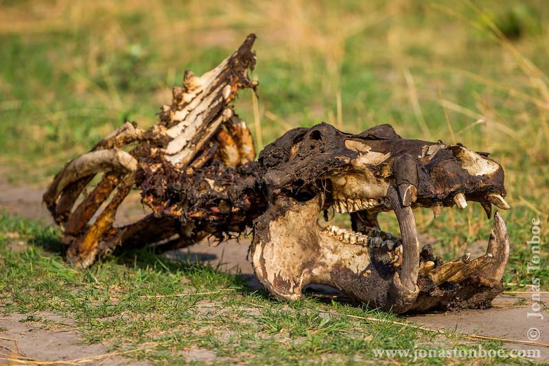 Hippopotamus Carcass