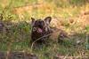 African Wild Dog aka African Painted Dog Eating a Baby Impala Leg