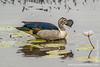 African Comb Duck aka Knob-billed Duck aka Grey-sided Comb Duck aka Comb Duck