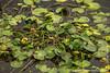 Water Lillies in Savute Channel
