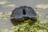 Black Heron Canopy Feeding