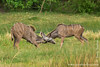 Male Greater Kudu Fighting
