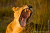 Female African Lion Yawning