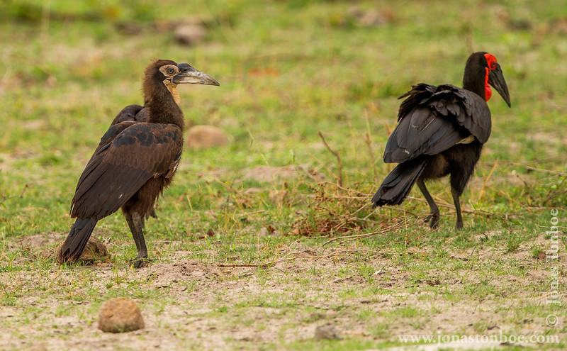 Southern Ground Hornbill Chick