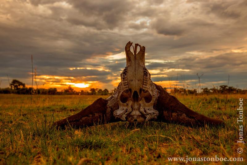 Cape Buffalo aka Southern Savanna Buffalo Skull at Sunset