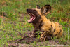 African Wild Dog aka African Painted Dog Yawning