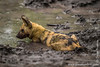 African Wild Dog aka African Painted Dog Chilling Down in the Mud