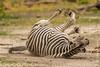 Burchell's Zebra aka Plains Zebra Dust Bathing