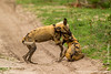 African Wild Dog aka African Painted Dog Mock Fighting
