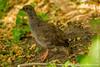 Juvenile Red-billed Francolin aka Red-billed Spurfowl