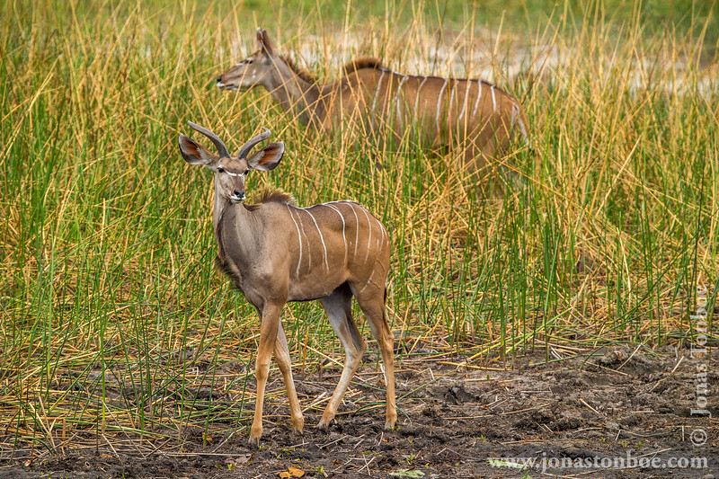 Male and Female Greater Kudu
