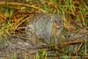 Banded Mongoose Eating a Frog