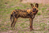 African Wild Dog aka African Painted Dog With a Baby Impala Head in Its Mouth