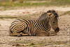 Burchell's Zebra aka Plains Zebra Foal Dust Bathing