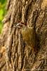 Female Bennett's Woodpecker