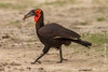 Southern Ground Hornbill Carrying a Frog