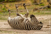Burchell's Zebra aka Plains Zebra Dust Bathing