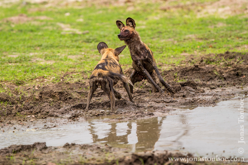 African Wild Dog aka African Painted Dog Mock Fighting in the Mud