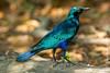 Greater Blue-eared Starling aka Blue-eared Glossy Starling aka Green Glossy Starling