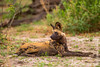 African Wild Dog aka African Painted Dog