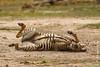 Burchell's Zebra aka Plains Zebra Foal Dust Bathing
