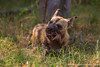 African Wild Dog aka African Painted Dog Eating a Baby Impala Head