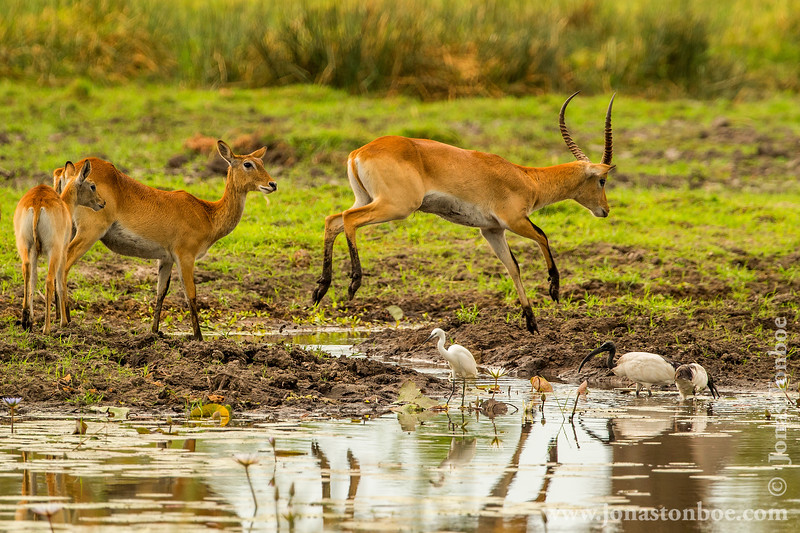 Red Lechwe Jumping a Stream
