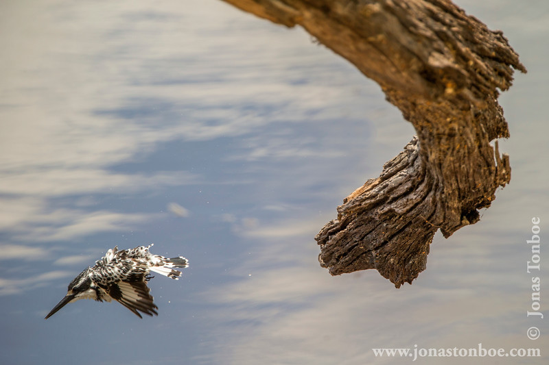 Pied Kingfisher Launching a Dive