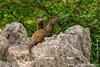 Dwarf Mongoose on Termite Mound